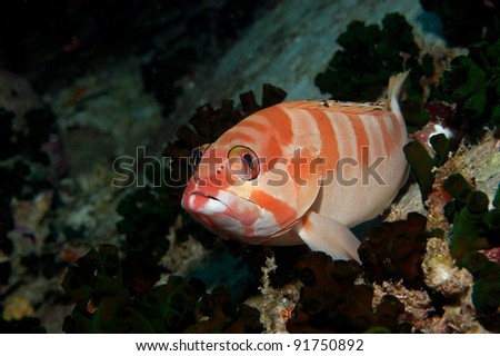 Black tipped grouper - stock photo