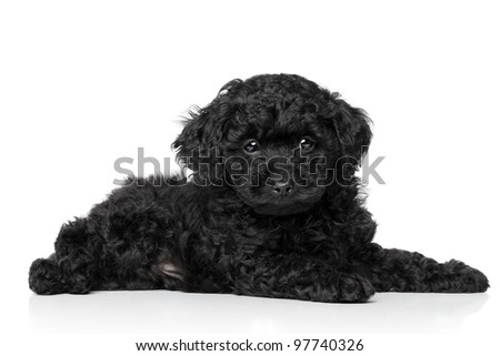 Black Toy Poodle puppy (6 week) lying on a white background - stock photo
