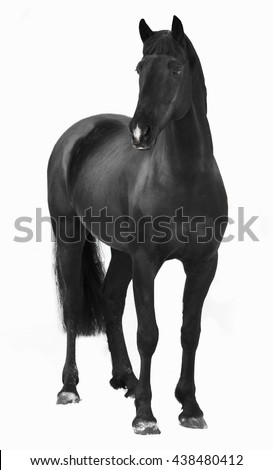 Black Trakehner  horse stallion isolated on white - stock photo