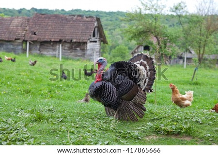 Black turkey in the countryside - stock photo