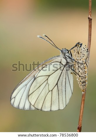 Black - Veined White Butterfly (Aporia crataegi) been born out of the cocon with a few dewdrops