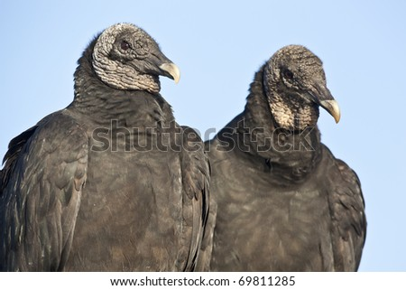 Black Vulture (Coragyps atratus) in Everglades National Park - stock photo