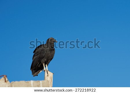 Black Vulture (Coragyps atratus) perching on a post in the small fishing village of Curanipe in the Maule Region of Chile - stock photo