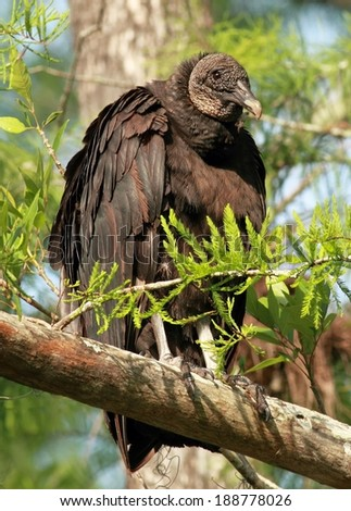 Black vulture in a Tree - stock photo
