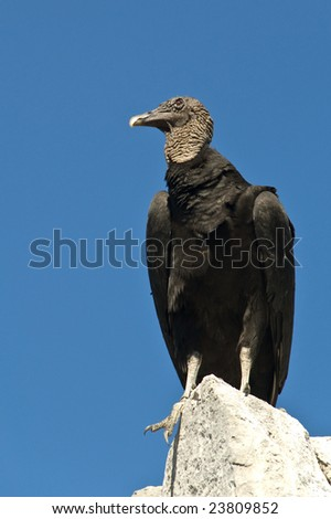 Black vulture scanning the area - stock photo