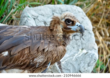 Black Vultures are scavenging birds at large. - stock photo