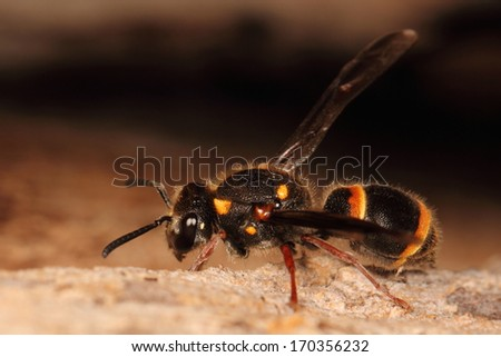 Black wasp with yellow stripes