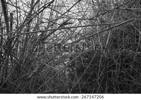 Black&White,Bamboo forest. Jungle background in Thailand - stock photo
