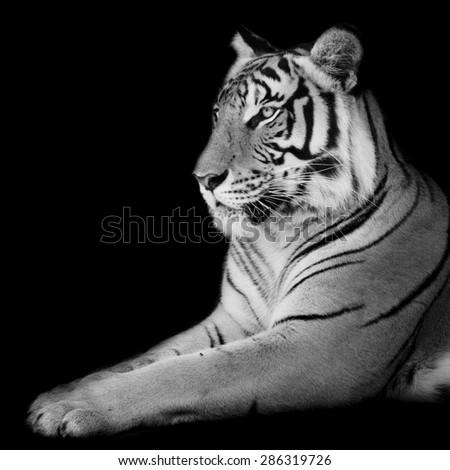 Black & White Beautiful tiger - isolated on black background - stock photo