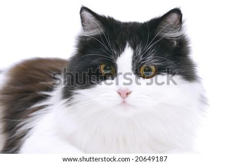 black&white cat isolated on white - stock photo