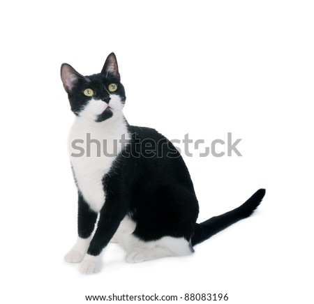 Black & white cat sit on white isolated background. looking up.
