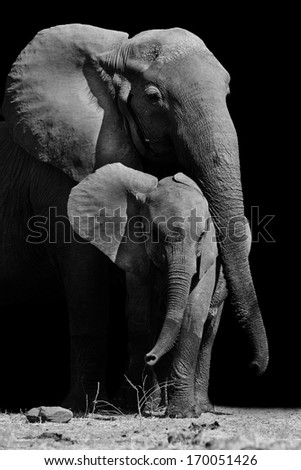 Black & White image of a mother elephant protecting her baby - stock photo