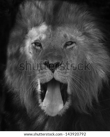 Black & white Lion Yawning closeup - stock photo