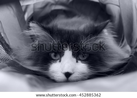 Black White Portrait of Regal Long Haired Bi Color Brown White Ragdoll Cat with Laying Inside Tunnel Looking at Camera - stock photo