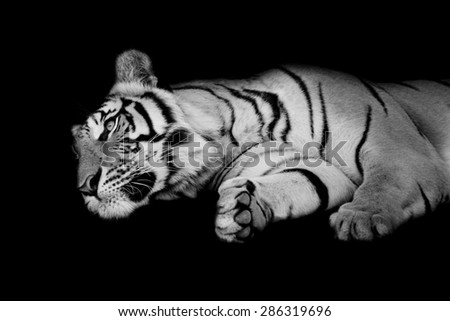 black & white tiger sleep on one's side isolated on black background - stock photo