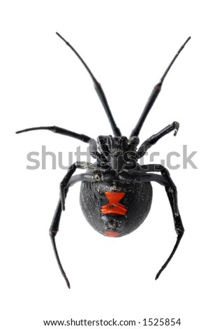 Black Widow Spider Isolated on White Background - stock photo