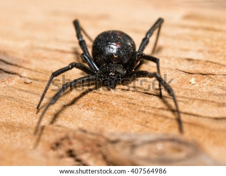 Black Widow spider outdoors on a piece of wood, front view - stock photo