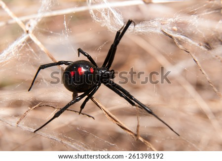 Black Widow spider outdoors on a web - stock photo