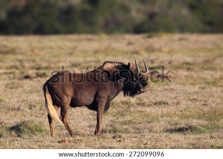 Black Wildebeest (Connochaetes gnou) in the Amakhala Game Reserve, Eastern Cape, South Africa. - stock photo