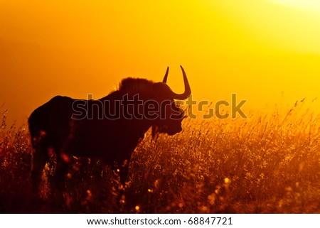 Black Wildebeest Sunset, South Africa - stock photo