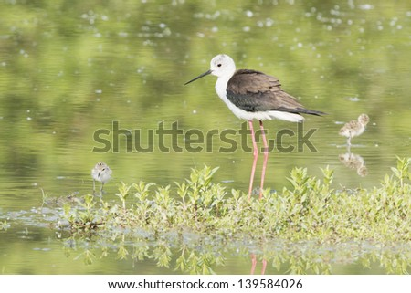 Black-winged stilt adult and puppy looking at you on the green background - stock photo