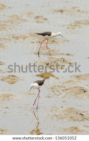 Black-winged Stilt bird (Himantopus himantopus ) walk to find the food in Thailand - stock photo