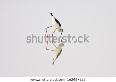 Black-winged Stilt,Bird of Thailand - stock photo