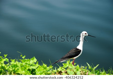 black winged stilt bird stands infant of the lake focus on the head of bird
