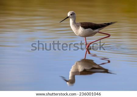 black-winged stilt, common stilt, or pied stilt (Himantopus himantopus), a very long legged wader foraging in shallow water - stock photo