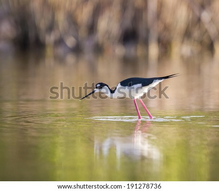 Black-winged Stilt, fishes for food in water.