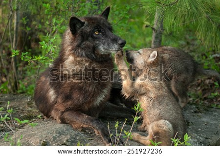 Black Wolf (Canis lupus) Pawed in Mouth by Pup - captive animals - stock photo