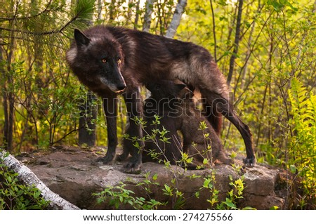 Black Wolf (Canis lupus) Stands Atop Rock and Feeds Her Pups - captive animals - stock photo