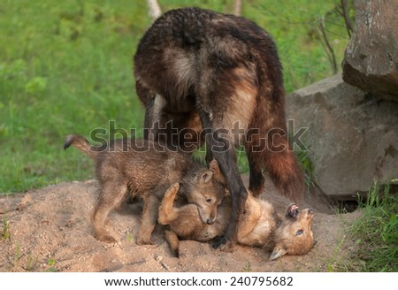 Black Wolf (Canis lupus) Stands over Playing Pups - captive animals - stock photo