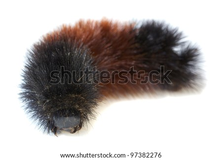 Black Woolly Bear (Arctiidae) caterpillar isolated on white - stock photo