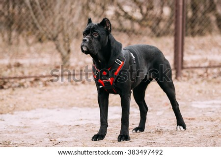 Black Young Cane Corso Puppy Dog Outdoors. Big dog breeds