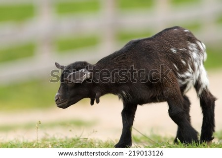 black young goat walking on farm alley