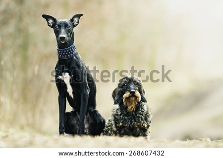 black young whippet dog and pretty dachshund puppy in spring background - stock photo