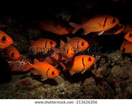blackbar soldierfish - stock photo