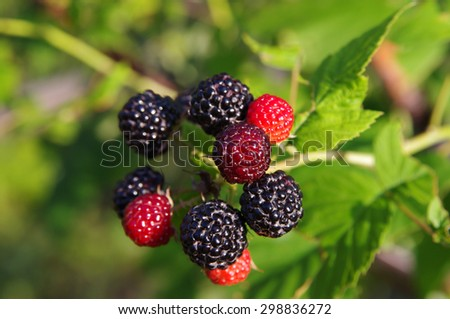 Blackberries on a branch closeup