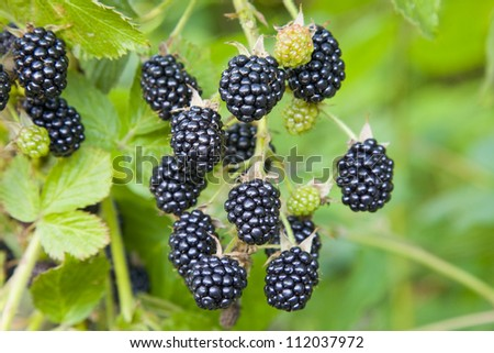 Blackberry fruit growing on branch
