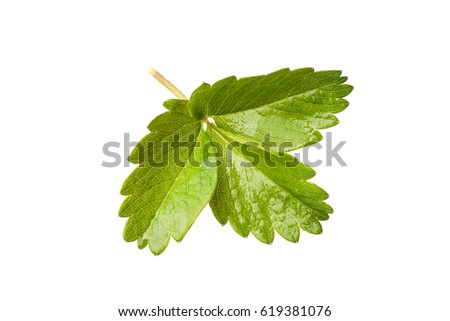 blackberry leaf isolated on a white background