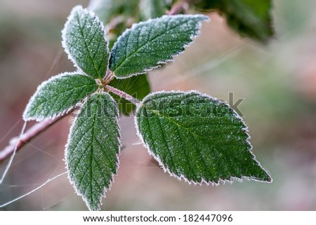 Blackberry leaf with frost crystals in the early morning  - stock photo