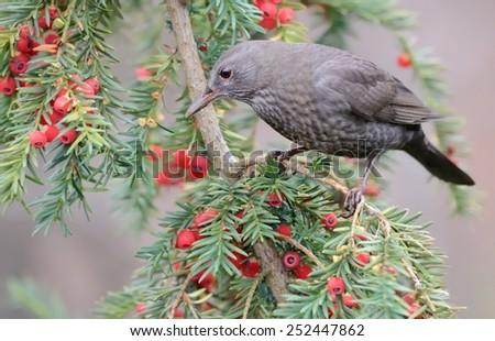 Blackbird eating red berries - stock photo