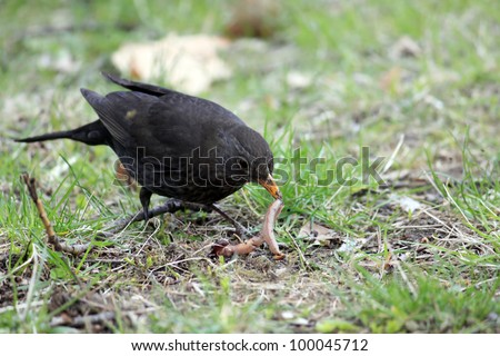Blackbird hunting for worms - stock photo