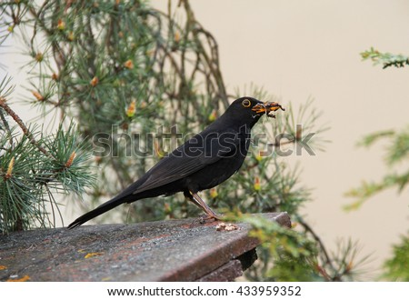 blackbird male with some material for the nest in its beak - stock photo