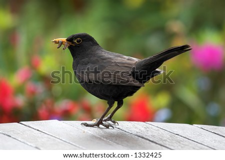 Blackbird on table