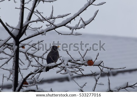 Blackbird on twigs of persimmon in winter