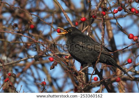 Blackbird (Turdus merula) on a branch of wild rose - winter