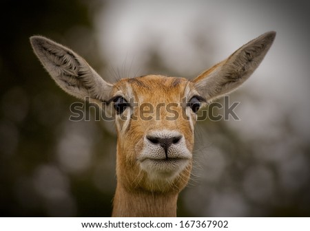 Blackbuck Antelope