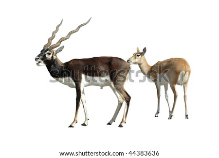Blackbuck Antelope Couple Isolated on White Background with Clipping Path - stock photo